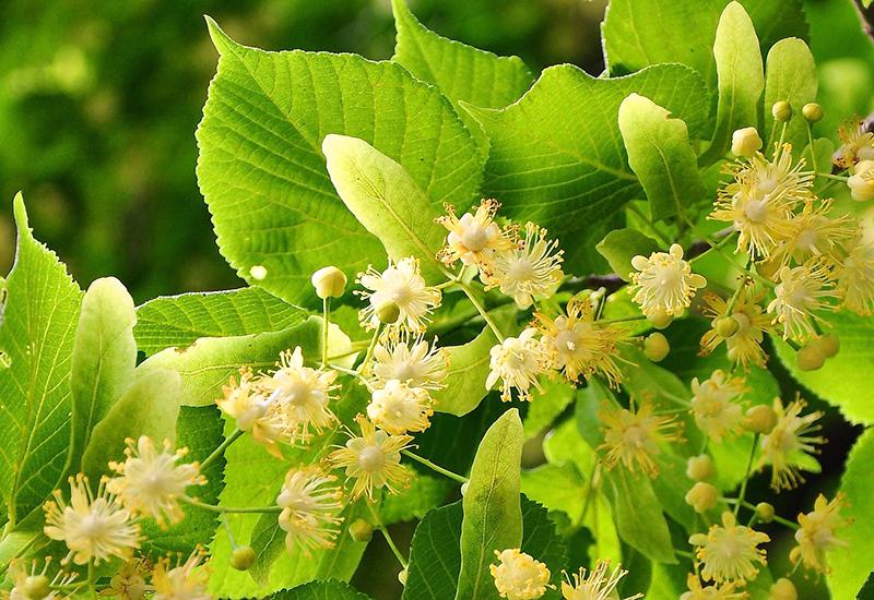 リンデン / Linden flower