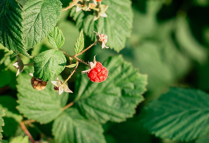 ラズベリーリーフ Raspberry leaf