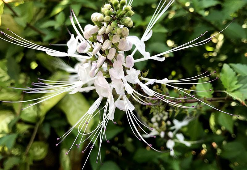 クミスクチン Orthosiphon spicatus