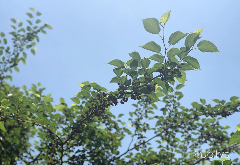大きなヤマグワ(山桑)の木
