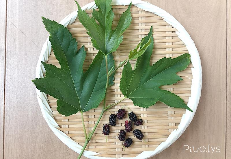 ヤマグワ(山桑)の葉と実