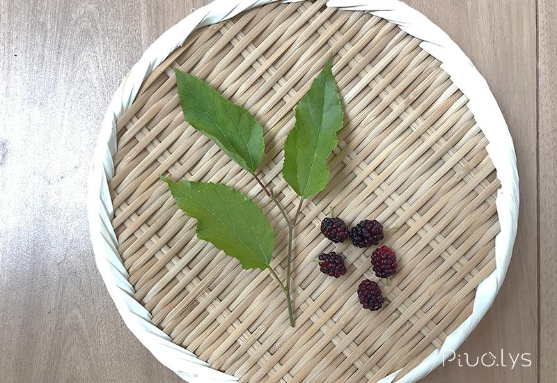 マグワ(真桑)の葉と実